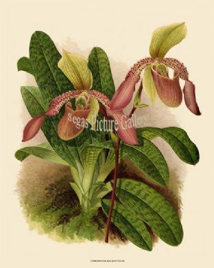 Cypripedium Macropterum